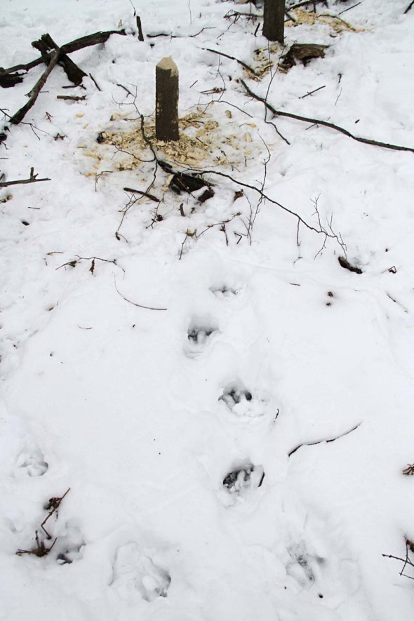 beaver tracks in snow IMG_3255
