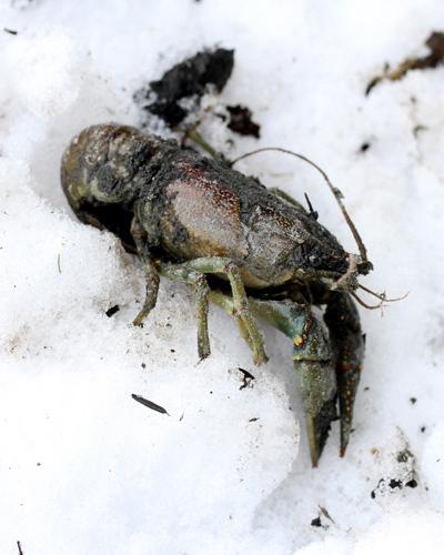 3-1-13 crayfish IMG_3205