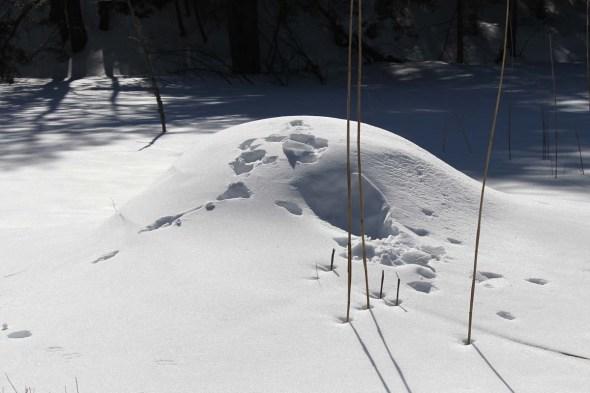 3-12-13 coyote & beaver lodge2 IMG_6223