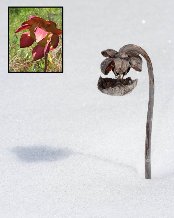 3-19-13 pitcher plant in winter2 IMG_6845