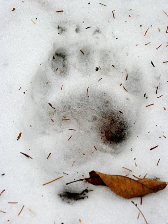 3-20-13 black bear track IMG_7204