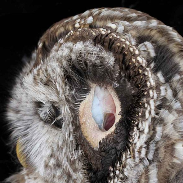 3-26-13 barred owl ear IMG_7161