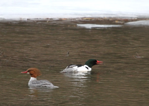 3-28-13 common mergansers IMG_7729