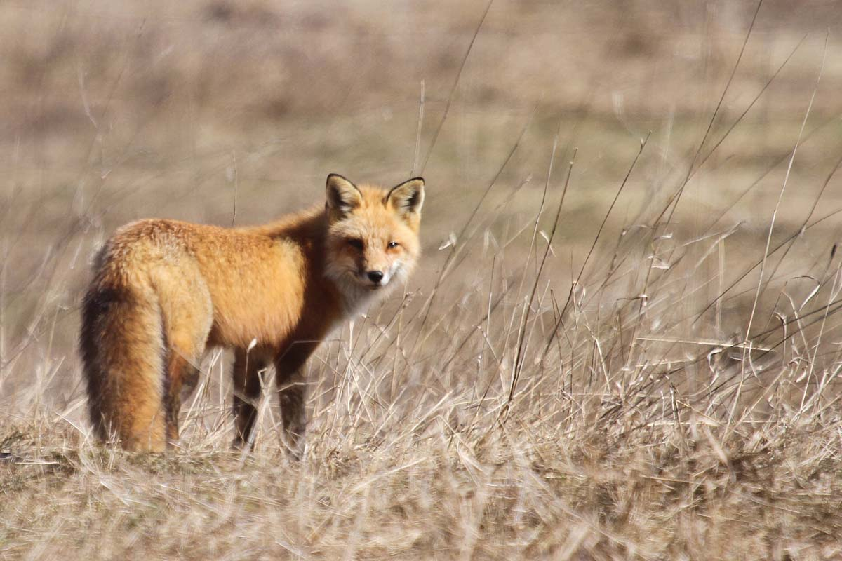 3-29-13 red fox IMG_4239