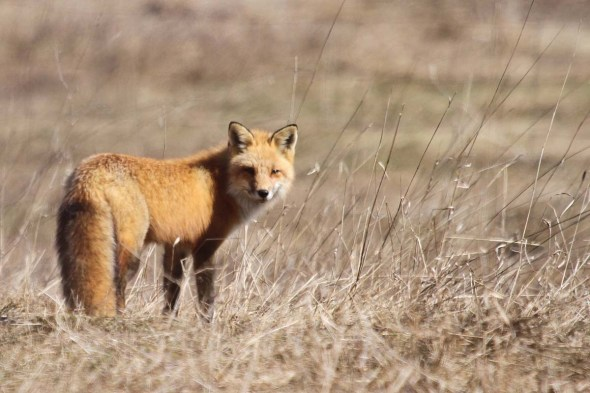3-29-13 red fox IMG_4239