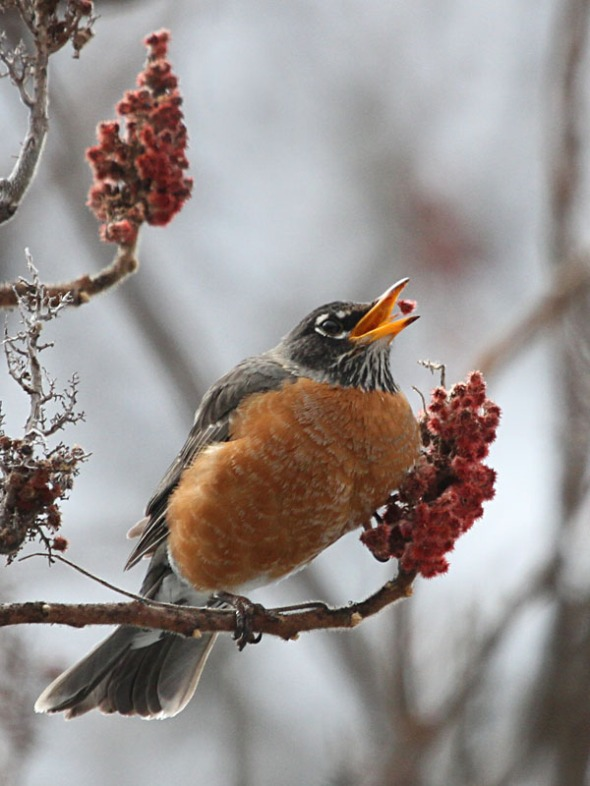 3-5-13 A. robin eating sumac IMG_4893