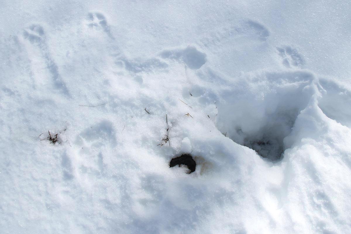3-8-13 coyote digging up shrewIMG_5320
