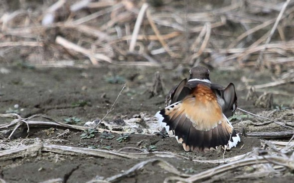4-15-13 killdeer IMG_8336