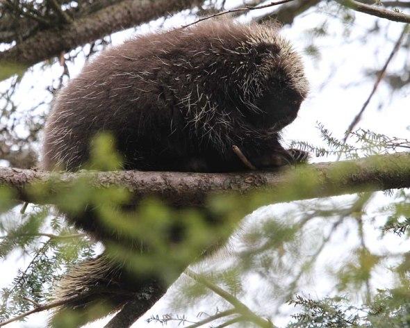 4-18-13 porcupine IMG_9203