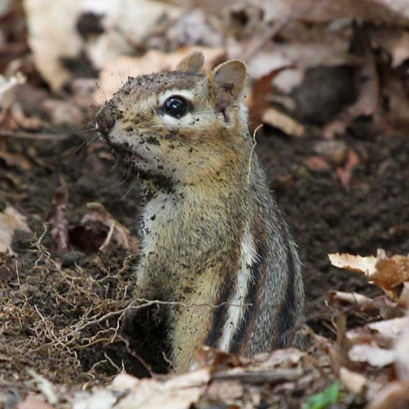 4-24-13 dirty eastern chipmunk IMG_3051