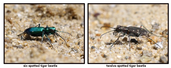 4-25-13 6 and 12-spotted tiger beetles