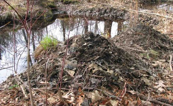 4-30-13 beaver scent mounds