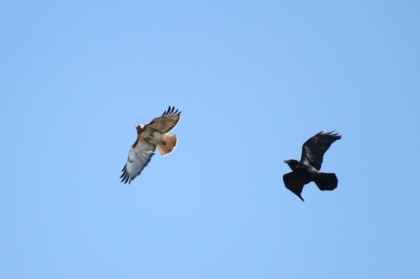 4-5-13 raven chasing red-tail2 IMG_8693