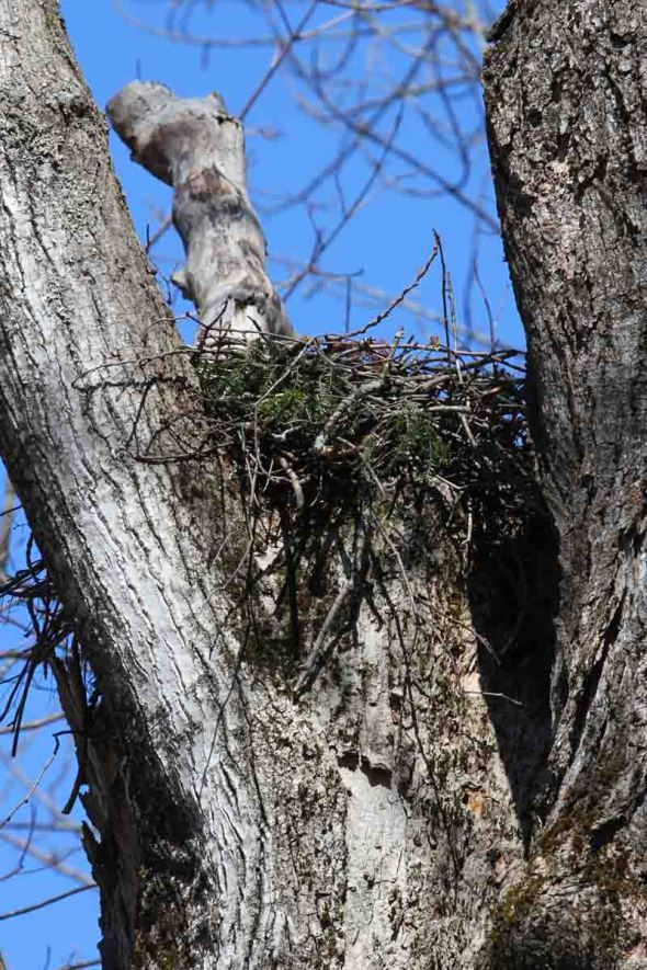 4-5-13 red-shouldered hawk nest IMG_8573