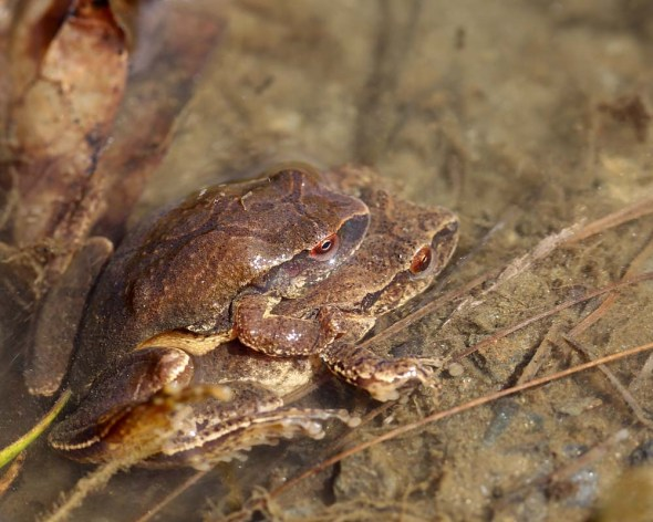 spring peepers mating DA8A0504