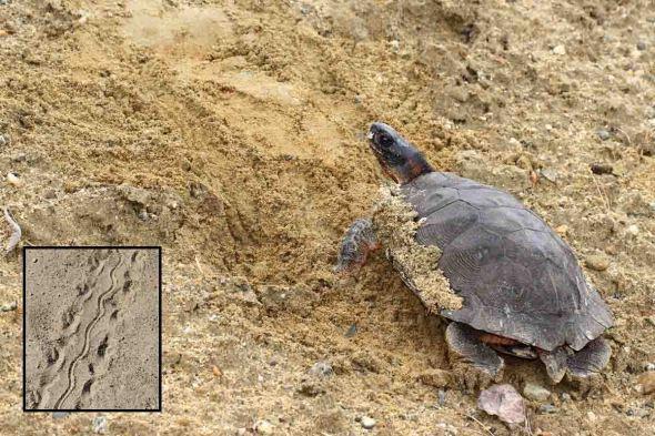 5-10-13 wood turtle burying eggs IMG_3717