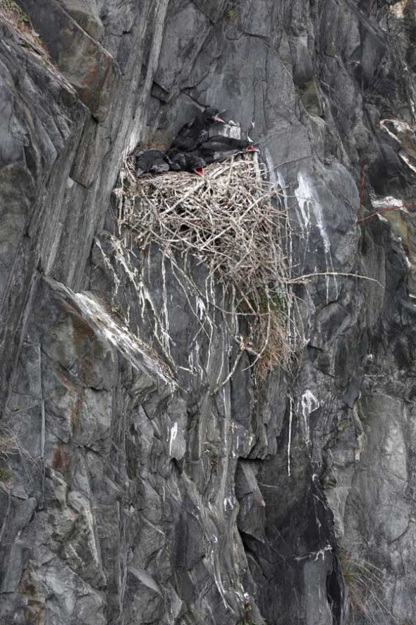 5-14-13 raven nestlings DA8A1747