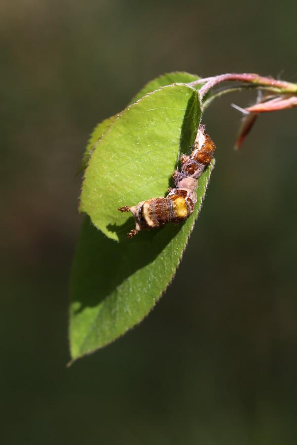 5-15-13 white admiral larva 133