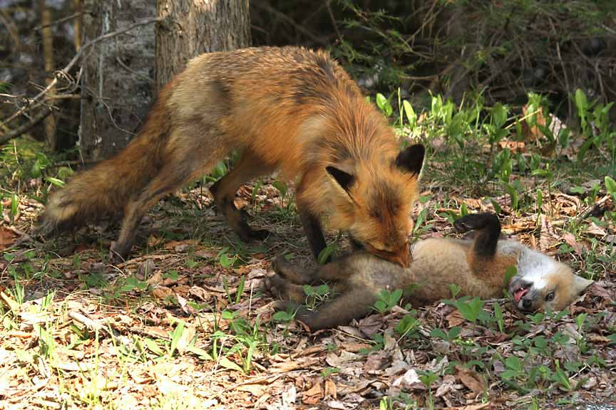 5-17-13 red fox mother grooming kit IMG_4410