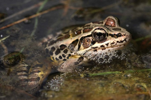 5-2-13  pickerel frog IMG_9431