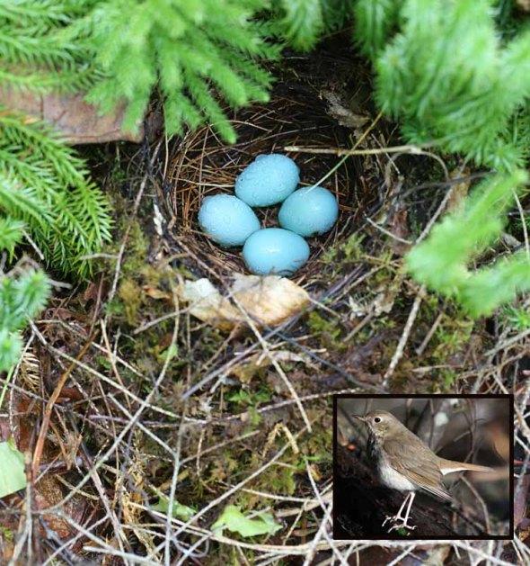 5-21-13 hermit thrush nest 222