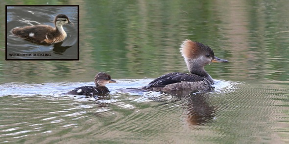 5-24-13 hooded merganser2  030