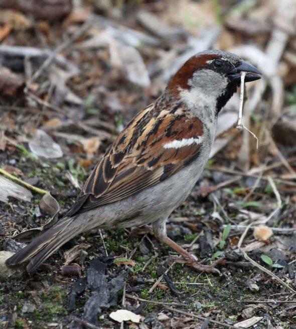 5-28-13 male House Sparrow  070