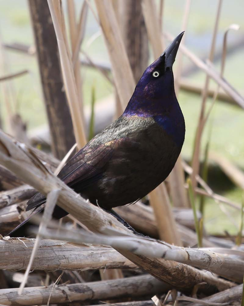 5-3-13 common grackle DA8A1629