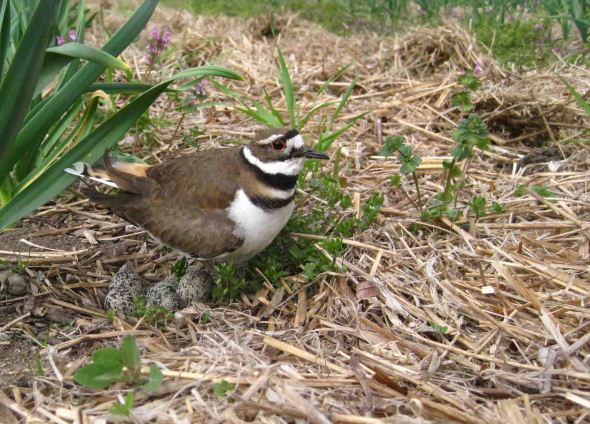 5-7-13 killdeer by Sadie IMG_7096_cropped
