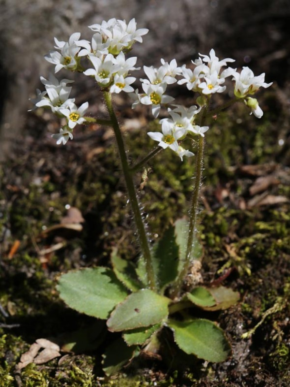 5-8-13 early saxifrage153