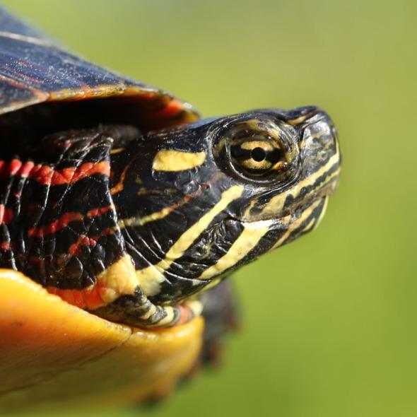 6-16-13 painted turtle eye line 226