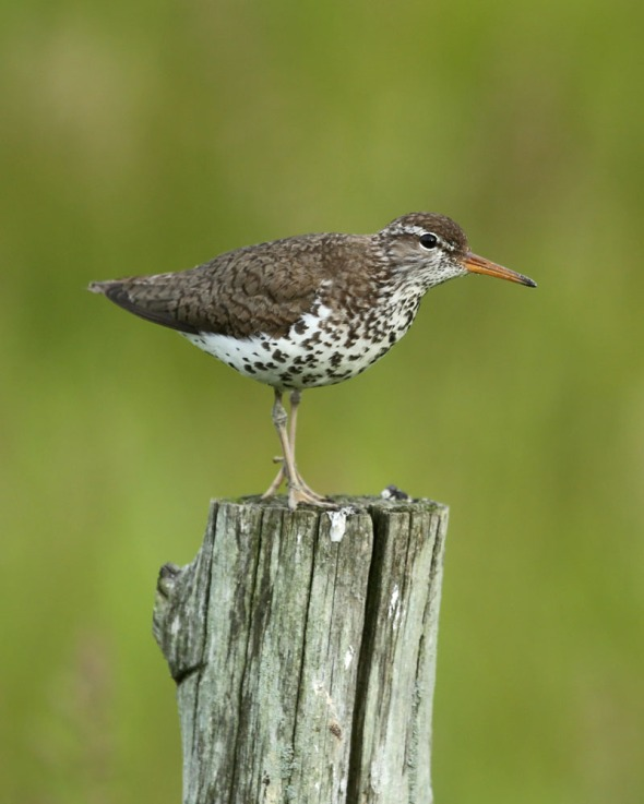 6-19-13 spotted sandpiper 412