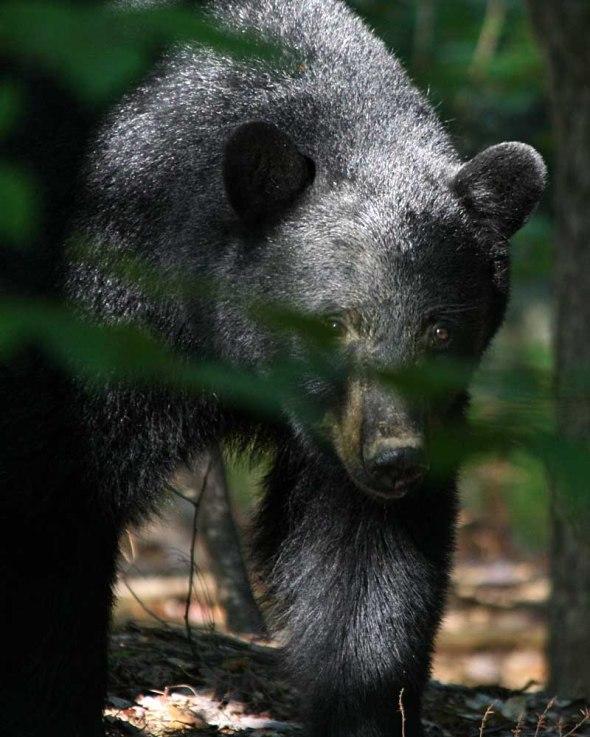 6-20-13 black bear IMG_8729