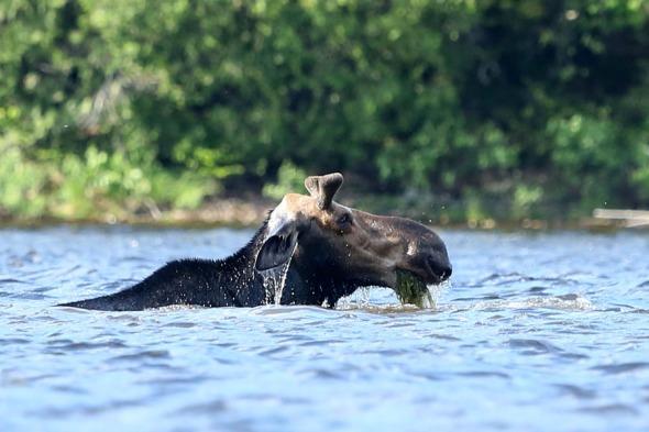 6-24-13 moose eating after submerging 576