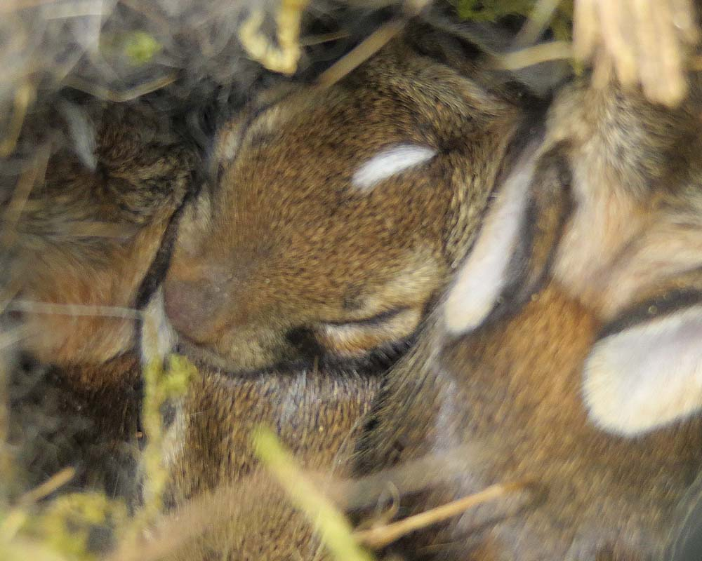 6-27-13 cottontails by Noreen Anderson IMG_0407