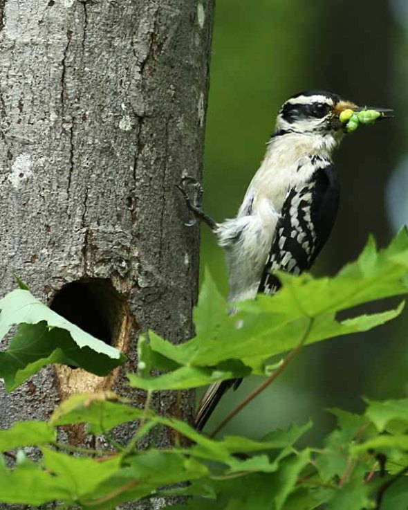6-3-13 hairy woodpecker looking right 330