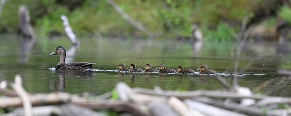 6-5-13 mallard & ducklings 151