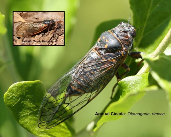 cicada 121-2