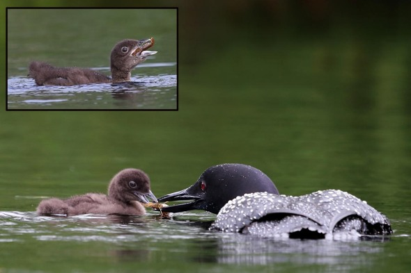 7-10-13 loon chick being fed 119