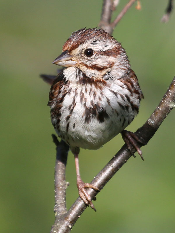 7-18-13  song sparrow with tick 252