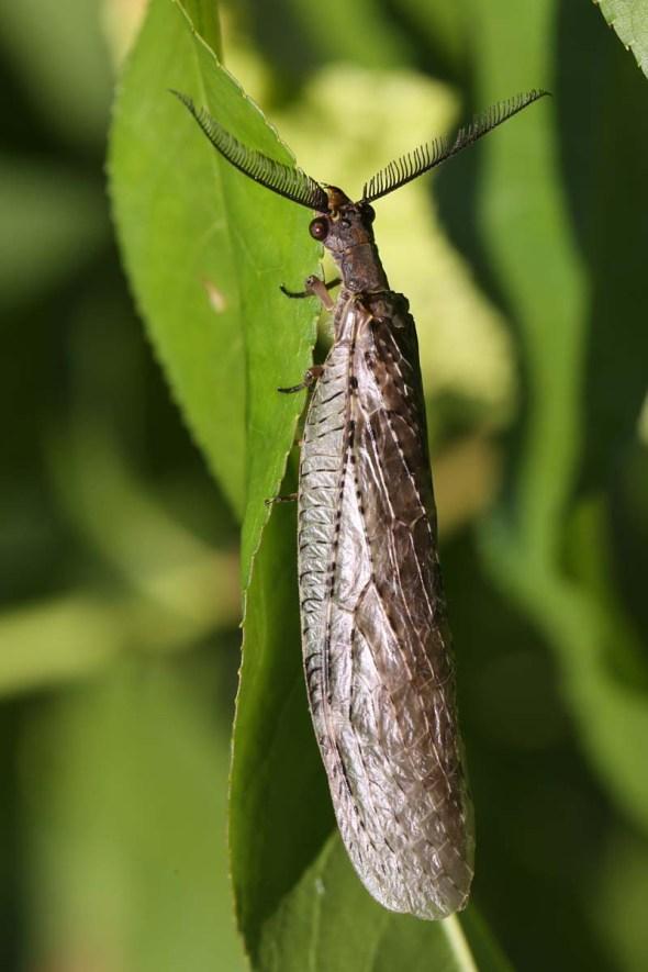 7-2-13 stonefly adult 058