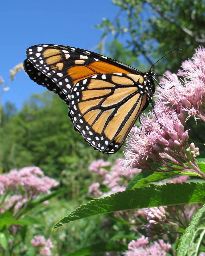 7-22-13 monarch IMG_1107