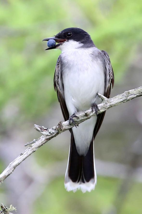 7-23-13 eastern kingbird  687
