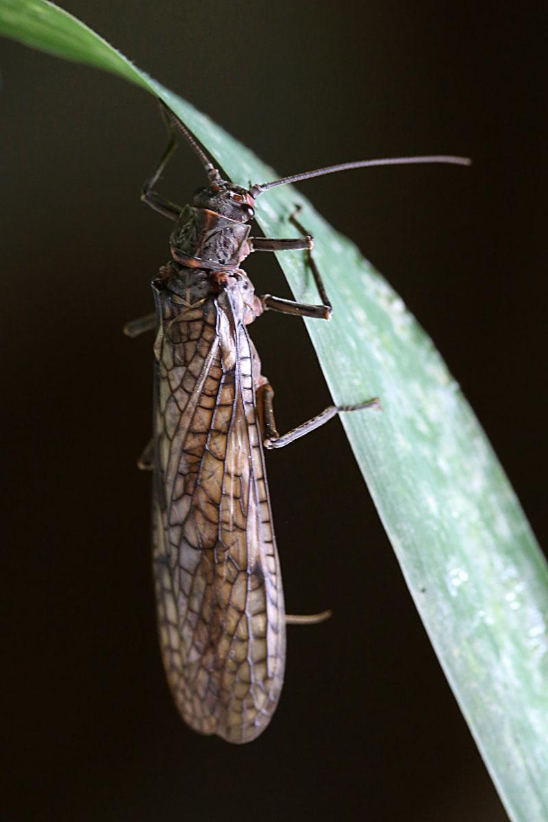 7-3-13 stonefly adult 036