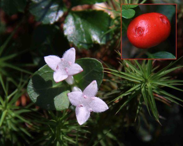 7-9-13 partridgeberrey flowers2 IMG_1018