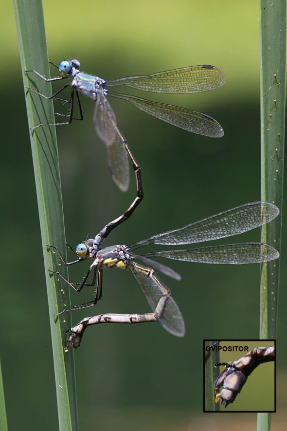 damselfly laying eggs2 354