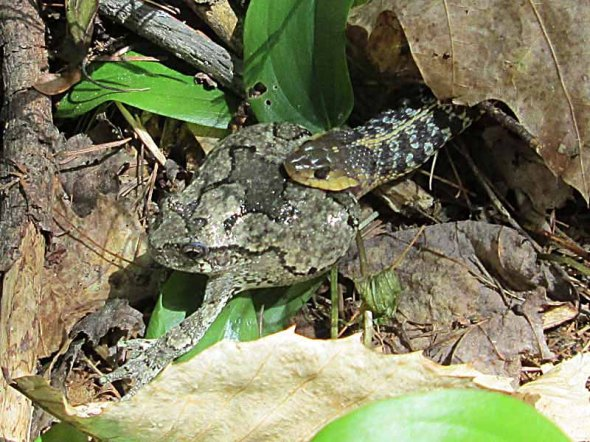 garter snake with treefrog by Tom Nevins IMG_0030