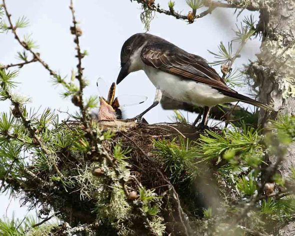 kingbird feeding young female widow skimmer dragonfly 1090