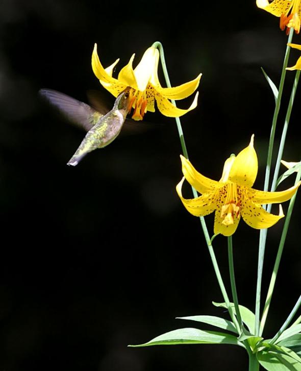 r-b hummingbird at Canada lilies 600