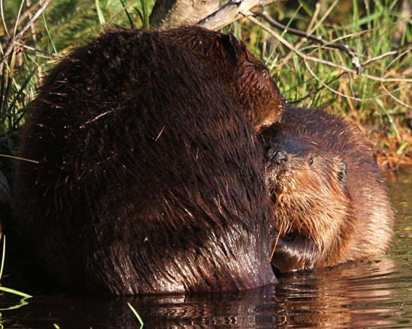 8-1-13 beavers grooming each other IMG_2714